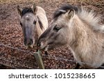 a hinny is a domestic equine... | Shutterstock . vector #1015238665