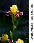 Yellow And Purple Irises In Th...