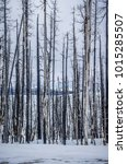 Foreground Of Aspen Trees In...
