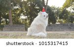 Pomeranian With Christmas Hat...