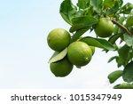 lemons on tree | Shutterstock . vector #1015347949
