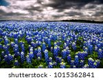 Field Of Bluebonnets Outside O...