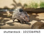 portrait of cute porcupine. the ... | Shutterstock . vector #1015364965