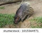 portrait of cute porcupine. the ... | Shutterstock . vector #1015364971