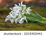 spring snowdrop flowers....   Shutterstock . vector #1015402441