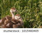 Two Egyptian Goose Chicks...
