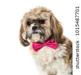 lhasa apso in bow tie against... | Shutterstock . vector #1015487701