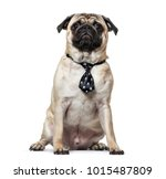 pug wearing tie sitting against ... | Shutterstock . vector #1015487809