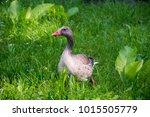 wild goose in the grass | Shutterstock . vector #1015505779