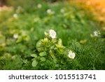 flowers at light leak . image... | Shutterstock . vector #1015513741