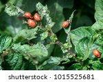 the larvae of colorado beetle...   Shutterstock . vector #1015525681