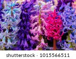 the first spring flowers...   Shutterstock . vector #1015566511