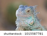 the lizard sits and looks at us ... | Shutterstock . vector #1015587781