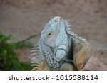 the lizard sits and looks at us ... | Shutterstock . vector #1015588114