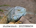 the lizard sits and looks at us ... | Shutterstock . vector #1015588654
