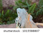 the lizard sits and looks at us ... | Shutterstock . vector #1015588807