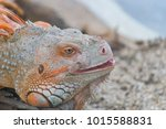 the lizard sits and looks at us ... | Shutterstock . vector #1015588831