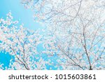 beautiful cherry blossom sakura ... | Shutterstock . vector #1015603861
