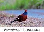 Small photo of Mrs. Hume's pheasant (Syrmaticus humiae), also known as Hume's pheasant or bar-tailed pheasant, is a large, up to 90 cm long, forestpheasant with a greyish brown head, bare red facial skin