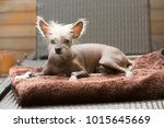 portrait of a chinese hairless... | Shutterstock . vector #1015645669