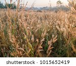 beautiful grass which has... | Shutterstock . vector #1015652419