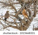 a pair of greater kestrels... | Shutterstock . vector #1015668331