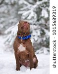 Small photo of american pit bull terrier puppy posing outdoors in winter