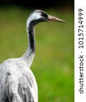 Small photo of Single Grey Crane bird on grassy wetlands during a spring nesting period