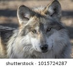 Mexican Gray Wolf Portrait