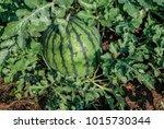 watermelon  citrullus lanatus ... | Shutterstock . vector #1015730344