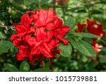 Mollis Azalea  Rhododendron X...