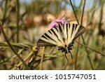 Scarce Swallowtail  Segelfalter