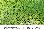 lemna minor  the common green... | Shutterstock . vector #1015772299