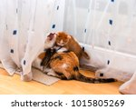 Stock photo cute little ginger white kitten playing with adult tricolor cat cats play and scratch curtains 1015805269