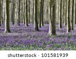 Bluebells In Woods In England...