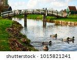 Drake Mallards swimming on the canal near a bridge in Zaanse Schans, Netherlands.