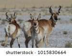 Pronghorn From New Mexico  With ...