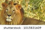 lion looking regal standing ... | Shutterstock . vector #1015831609
