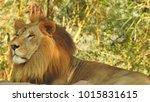 lion looking regal standing ... | Shutterstock . vector #1015831615