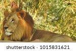 lion looking regal standing ... | Shutterstock . vector #1015831621