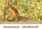 lion looking regal standing ... | Shutterstock . vector #1015831639