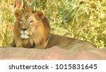 lion looking regal standing ... | Shutterstock . vector #1015831645