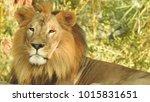 lion looking regal standing ... | Shutterstock . vector #1015831651