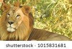 lion looking regal standing ... | Shutterstock . vector #1015831681