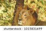 lion looking regal standing ... | Shutterstock . vector #1015831699
