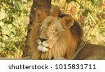 lion looking regal standing ... | Shutterstock . vector #1015831711