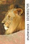 lion looking regal standing ... | Shutterstock . vector #1015831735