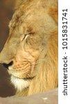lion looking regal standing ... | Shutterstock . vector #1015831741