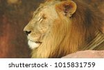 lion looking regal standing ... | Shutterstock . vector #1015831759