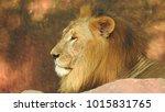 lion looking regal standing ... | Shutterstock . vector #1015831765